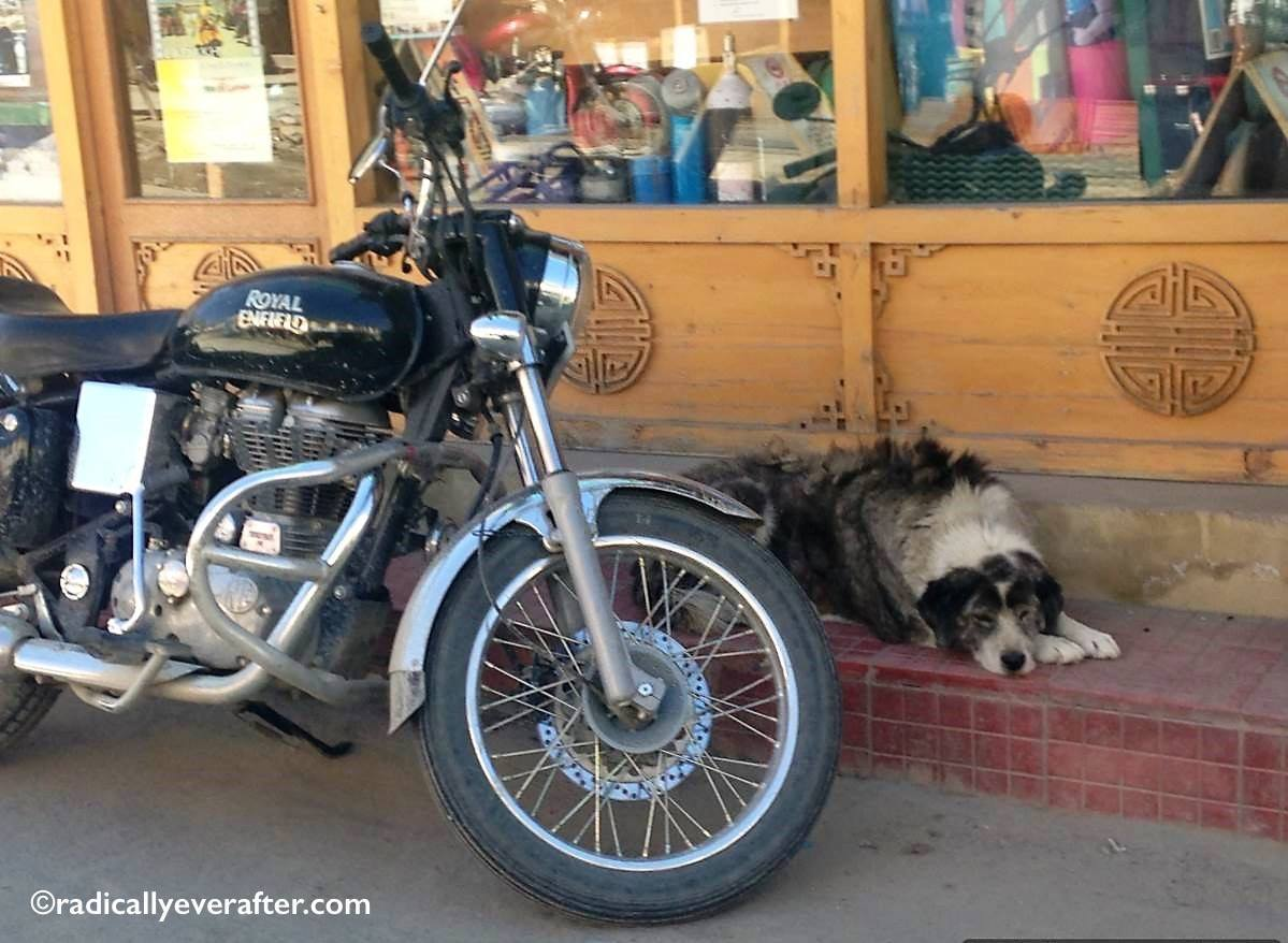 Leh, Ladakh, India, Royal Enfield, bike, dog